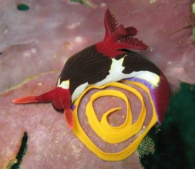 The Sea Slug Forum - Nembrotha chamberlaini