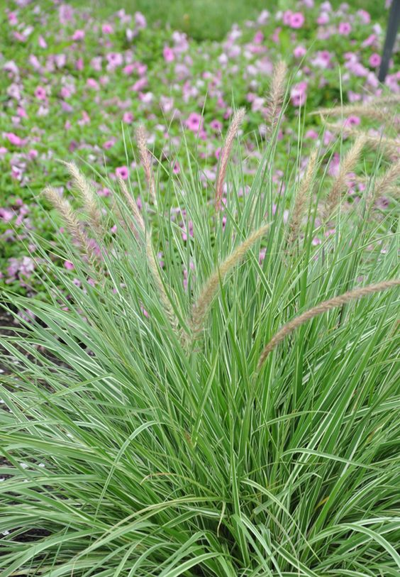 Pennisetum setaceum 'Rubrum', Graceful Grasses 'Sky Rocket'