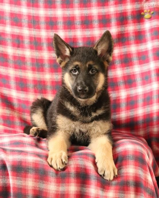Bruno German Shepherd Puppy For Sale In Christiana Pa