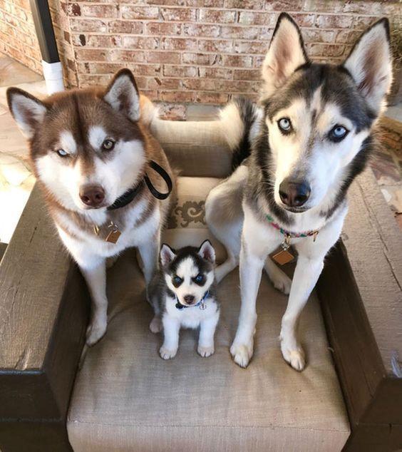 Husky Puppy Training Advice Tips And Tricks Siberian Husky