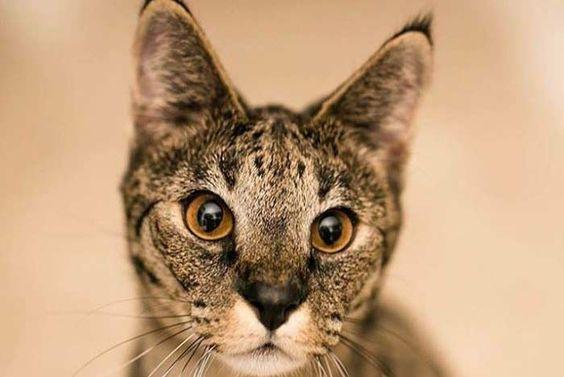 Gato Savannah Todo Sobre El Gato Más Alto Del Mundo Feelcats Gatos Savannah Ojos De Gato