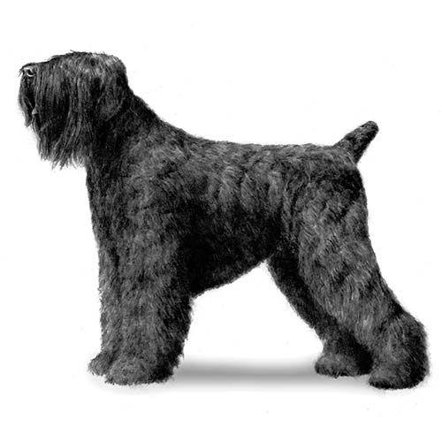 Black Russian Terrier Dog Breed Information Black Russian