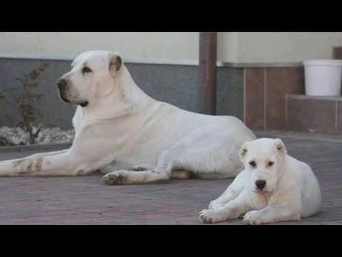 Rare Alabai Pups Central Asian Shepherd Livestock Guardian