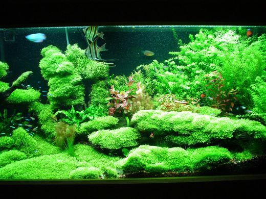 Freshwater aquarium aquarium and aquarium setup on pinterest for Planted tank fish