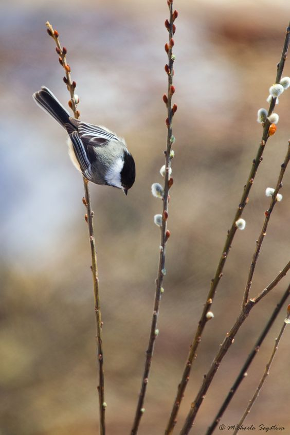 A53F8546 Chickadee on pussy willow | ~ Michaela Sagatova ~ | Flickr