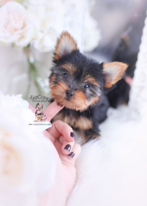 Yorkie Puppy For Sale Teacup Puppies Boutique 331 A