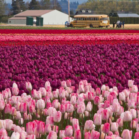 Skagit Valley tulips, WA