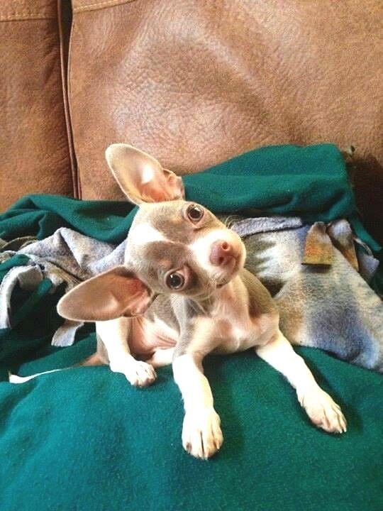 Pin By Hunderassen On Hunderassen Chihuahua Puppies Chihuahua Baby Chihuahua