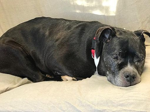 Cambridge Md Pit Bull Terrier Meet Zeus A Dog For Adoption