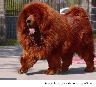 The Most Expensive Dog Breed To Own Fallinpets