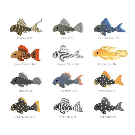 Pleco Poster Tropical Freshwater Fish Aquarium Fish Pleco Fish