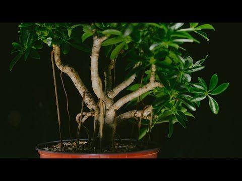 Bonsai Trees That Grow Under Low Light Bonsai Tree Gardener Bonsai Tree Umbrella Tree Bonsai