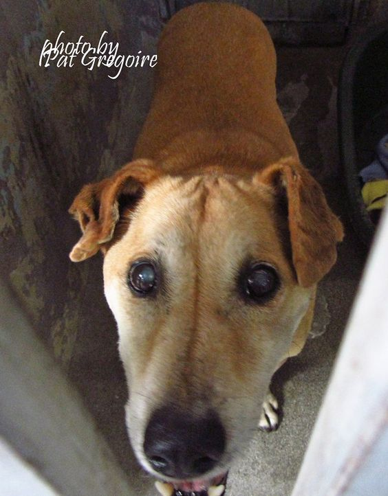 A4872463 My name is Bandit. I am a friendly 10 yr old male gold Labrador Retriever mix. My family left me here on August 31. available now. May be partially blind. very sweet Baldwin Park shelter https://www.facebook.com/photo.php?fbid=1026255474052956&set=a.705235432821630&type=3&theater