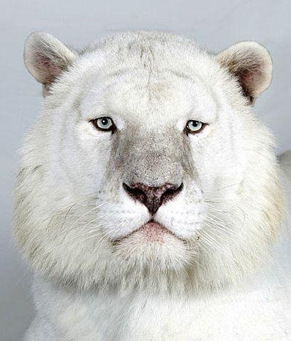 white lion:
