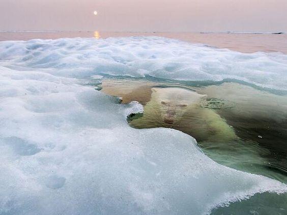 polar bear under the ice