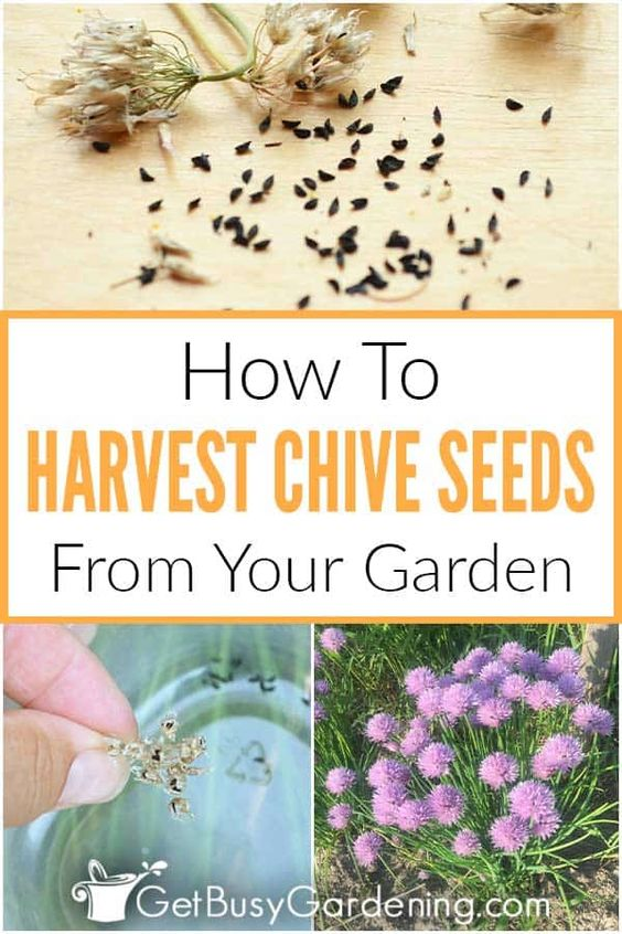 How To Harvest Collect Chive Seeds In Your Garden Chive Seeds Growing Herbs At Home Seeds
