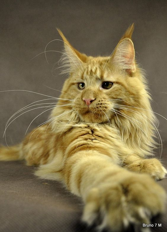 Bruno : Maine Coon : Majestic Meower... =)