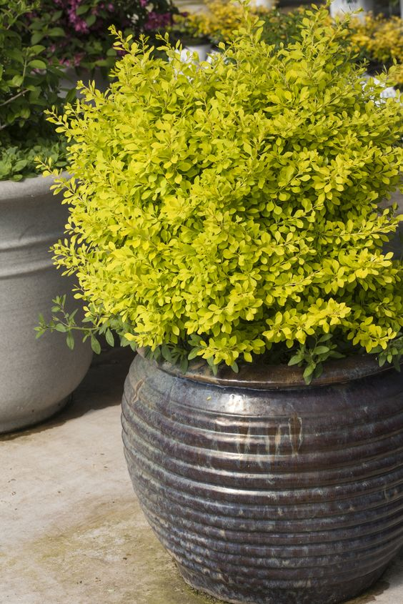 A single bold color, like Sunjoy Citrus barberry (Berberis), makes a strong architectural statement in containers.