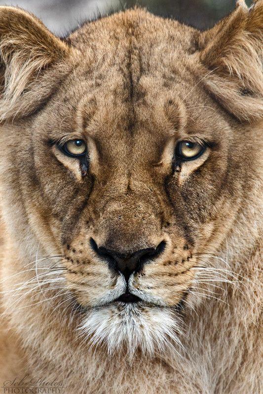 A lioness close-up   © Seb