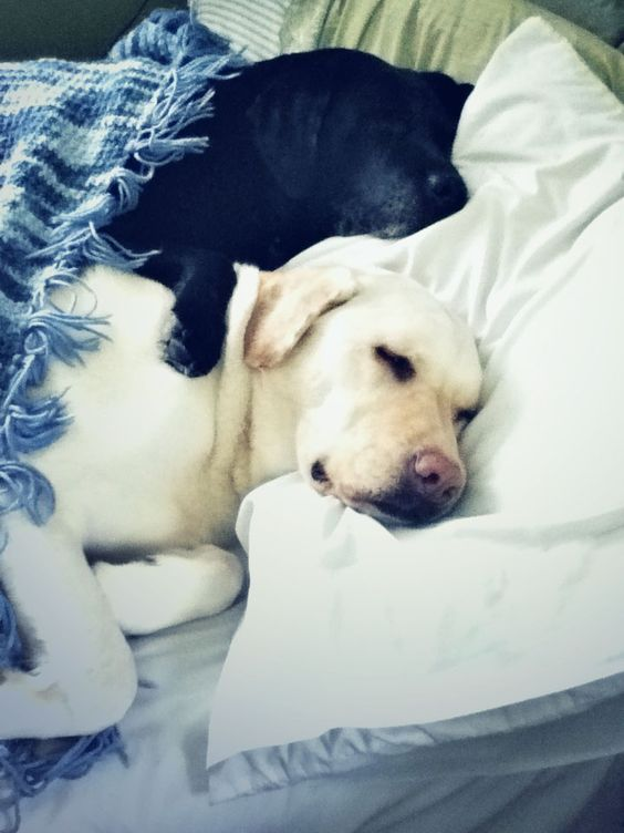 black and yellow labs snuggled in bed. best sleeping photo ever?