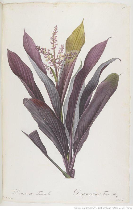 Les Liliacées, par P.-J. Redouté (texte de A.-P. de Candolle pour les tomes I à IV, de F. de La Roche pour les tomes V à VII, et de A. Raffe...