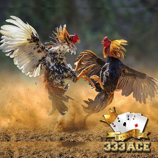 78+ Gambar Ayam Tarung Paling Hist