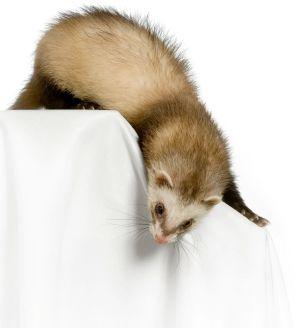 ferret on table