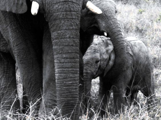 The amazing baby elephant rescue: http://www.nzherald.co.nz/element-magazine/news/article.cfm?c_id=1503340&objectid=11527811