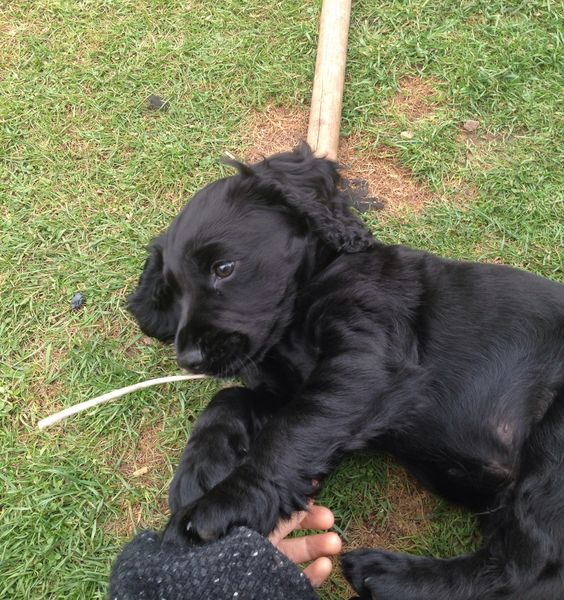 Mini Cocker, another friend of She's So Shoes