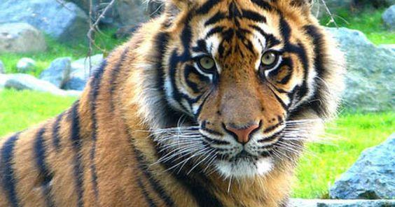 Salvemos de la extinción a todos los tigres del mundo FIRMA Y COMPARTE ESTA PETICIÓN AHORA!