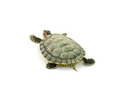 explore turtle tango turtle red and more turtles pet turtle pets