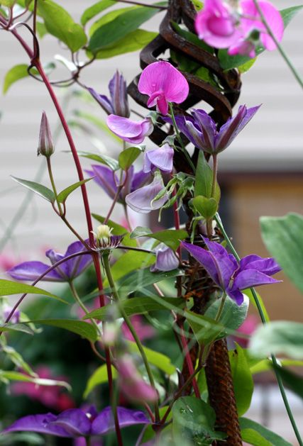 Clematis 'The President' with Perennial Sweet Pea