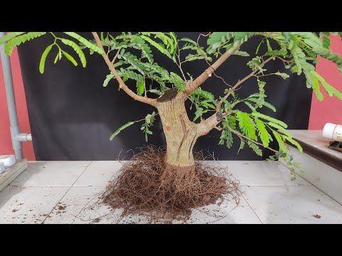 Tamarindus Indica Bonsai From Air Layering Bonsai Asam Jawa Dari Hasil Cangkok Youtube Bonsai Plants Air Layering