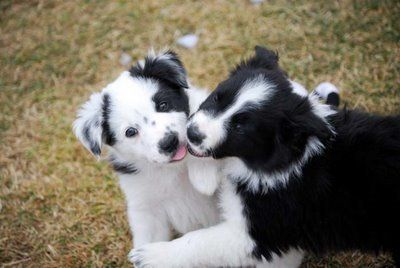 Most popular tags for this image include: adorable, border collie, kisses, cute!!!!