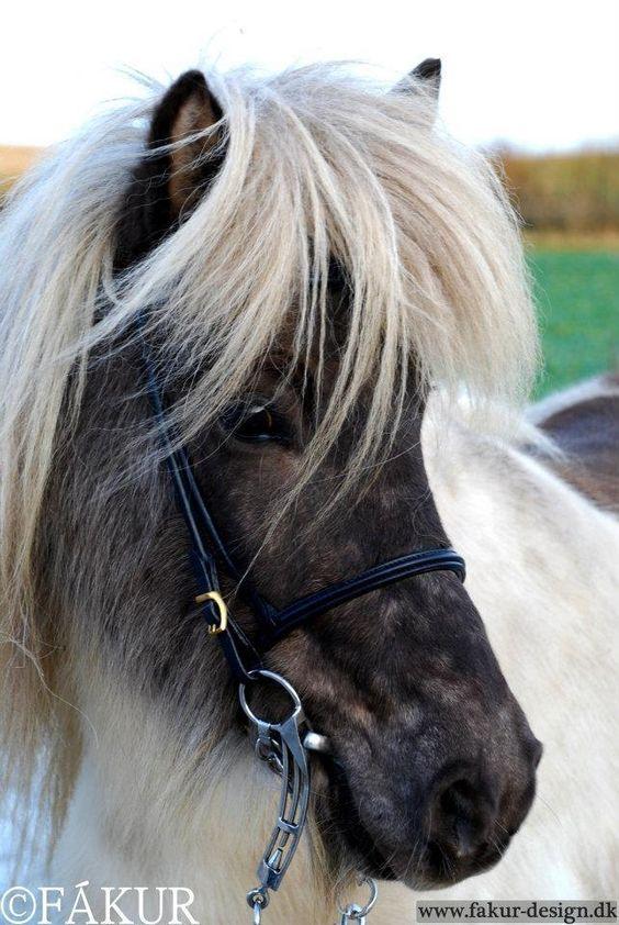 Klassischer rundgenähter englischer Nasenriemen Isländer Islandpferdetrense | eBay