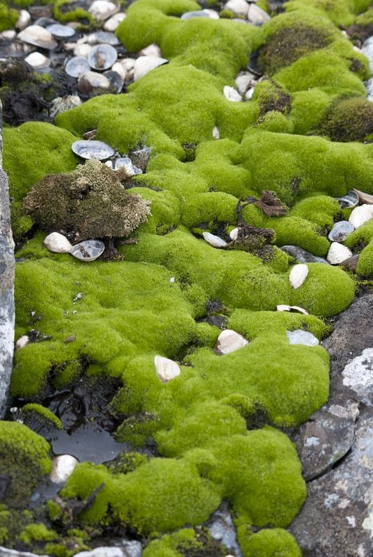 Cushion Moss With Images Moss Plant Japanese Garden Moss For