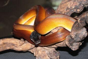 Foto ular coklat keemasan di atas bongkahan kayu