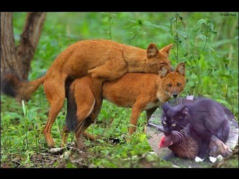 Fox Mating Stuck,Chicken Mating With Cat,New Animal Mating - YouTube