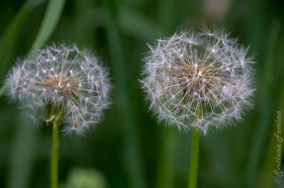 dandelion by fominasveta
