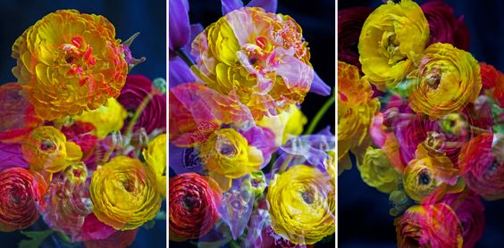 JOHNNY NICOLORO new work RANUNCULUS with an ORCHID