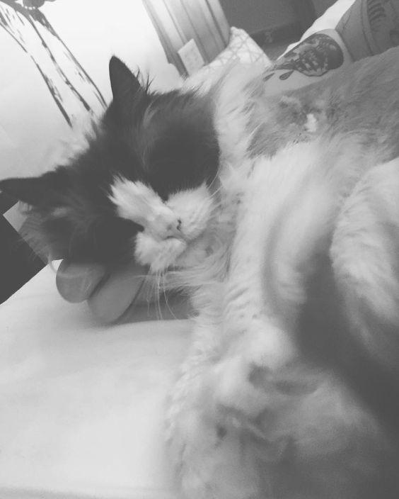 Sophie missed me! #ragdoll #catsofinstagram #kitty #cuddles #cute #cat #kitten
