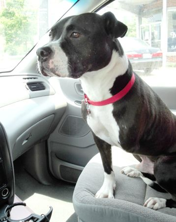 I want Buster at Silver Rescue. I love American Staffordshire Terriers.