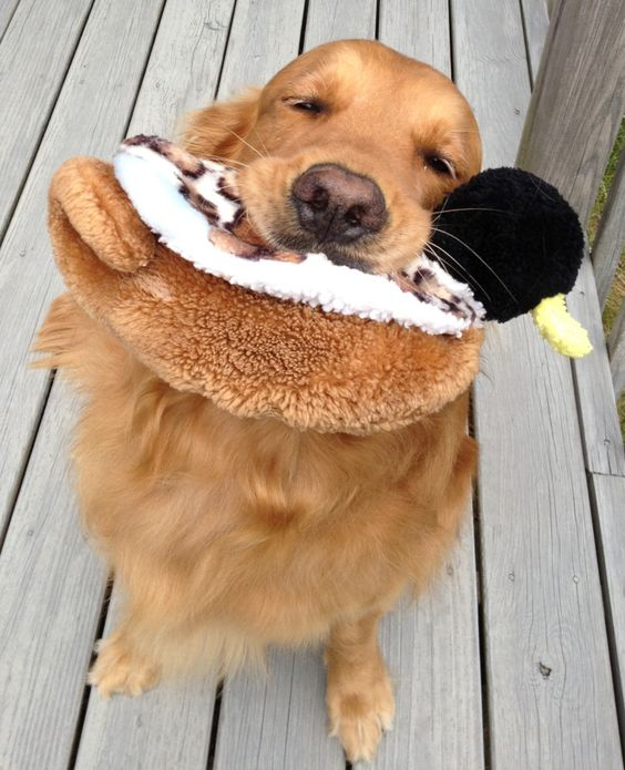 """A dog and his duckie: """"Sweet 5 year old Max was turned in to Yankee Golden Retriever Rescue by his owners, who were moving. We quickly found him a loving new family, and you can tell by his blissful squint that his life is perfectly Duckie!"""""""