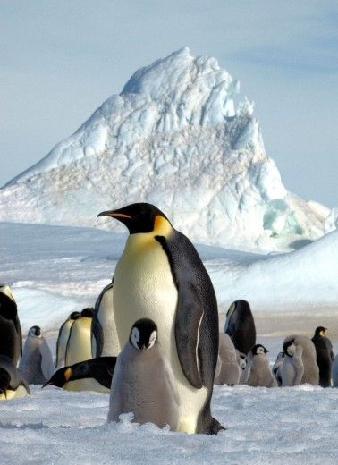The Emperor Penguin in the ice of Antarctica