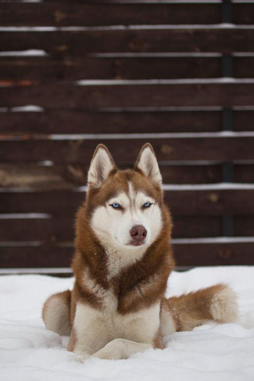 Pin By Aphelion On Husky Husky Dogs Siberian Husky Alaskan Husky