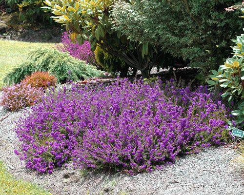 P S Patrick Heath Year Round Colors Evergreen Plants Heather Gardens