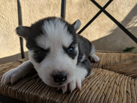 Siberian Husky Puppy For Sale In Sylmar Ca Adn 68305 On