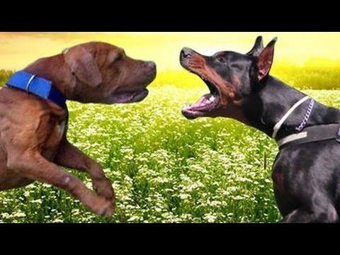 Pitbull Vs Doberman Ultimate Clash Youtube Dog Quiz Nanny