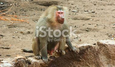 Baboon Monkey chilling in the zoo Royalty Free Stock Photo