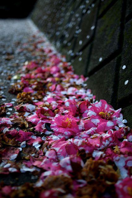 Camellia, Kawasaki, Japan - http://japan.mycityportal.net